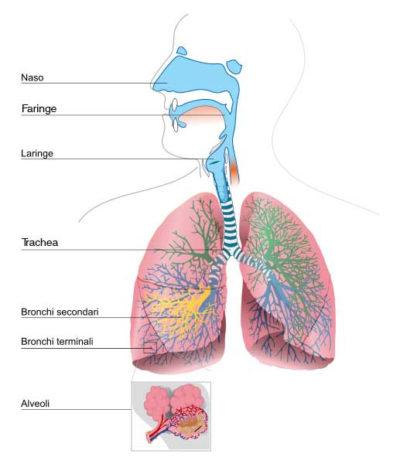 La Polmonite - apparato respiratorio